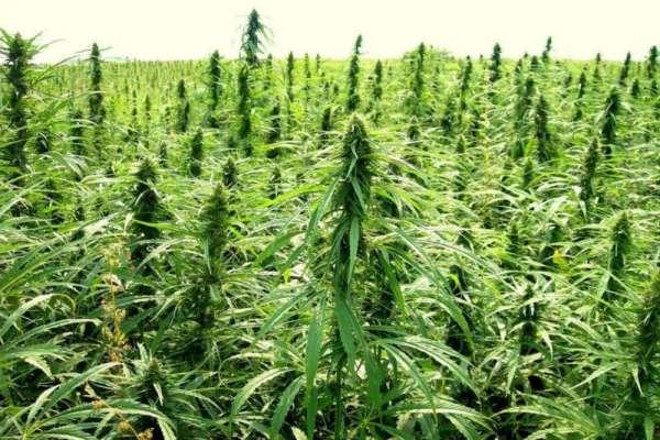 合法的工业大麻为什么最近……这么火?